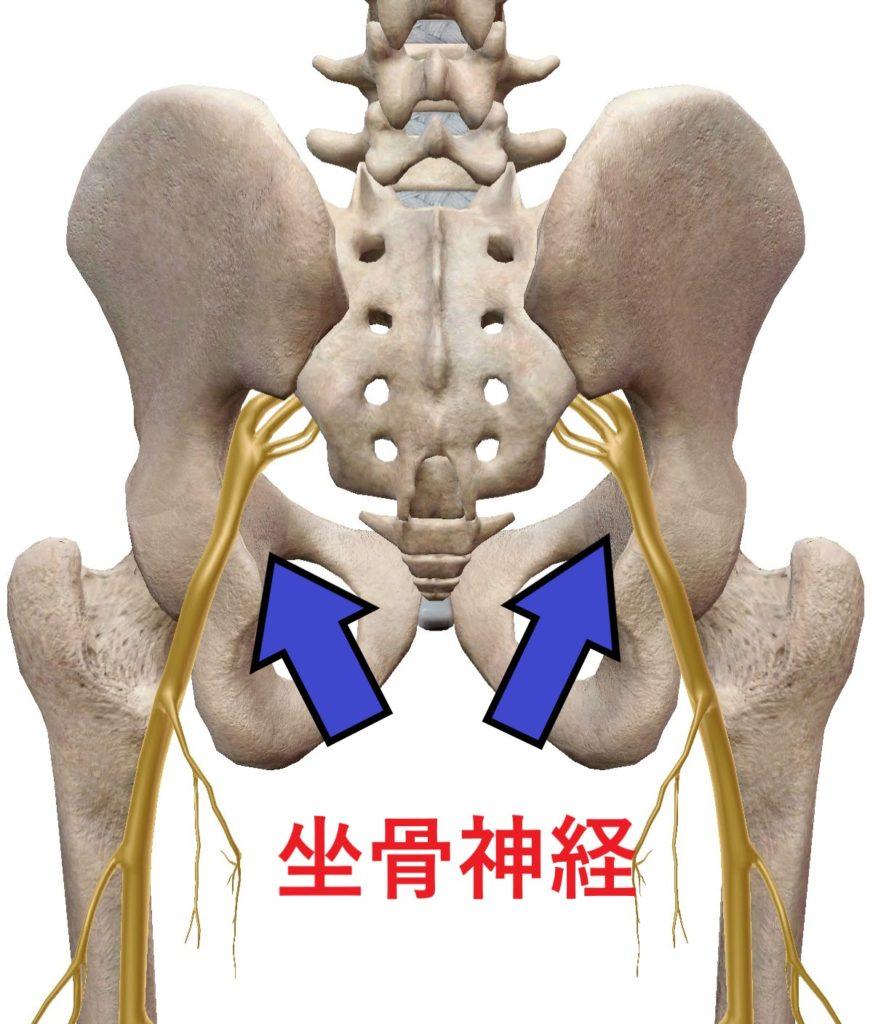 骨盤から下肢に伸びる坐骨神経