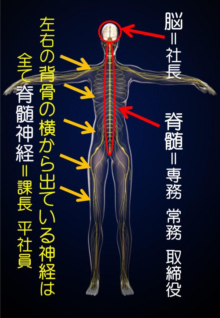 中枢である脳と脊髄と末梢神経である脊髄神経の説明