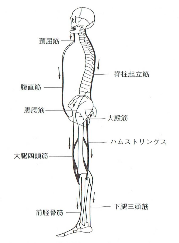 重力に抗うために働く身体全体の抗重力筋の図