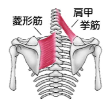 菱形筋と肩甲挙筋の筋肉図
