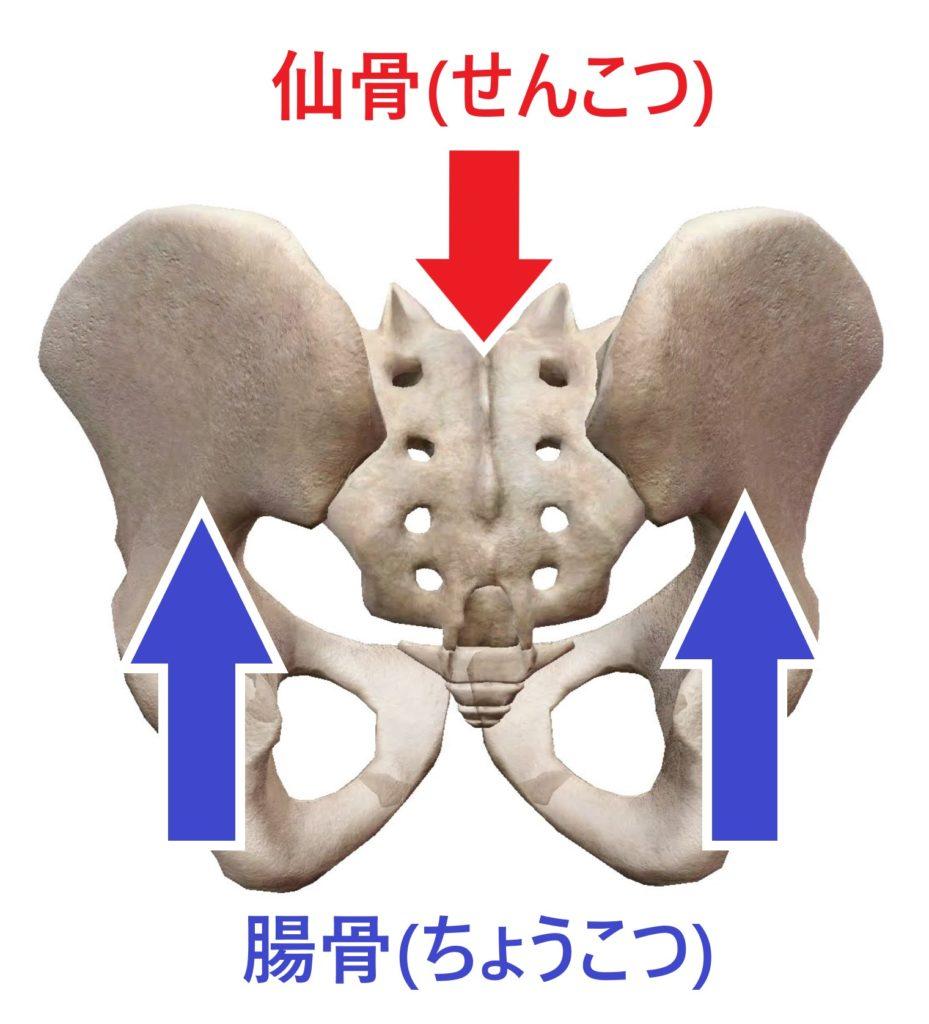 仙骨と腸骨を示した図