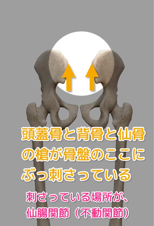 仙骨と腸骨で織りなす仙腸関節の構成を説明する画像