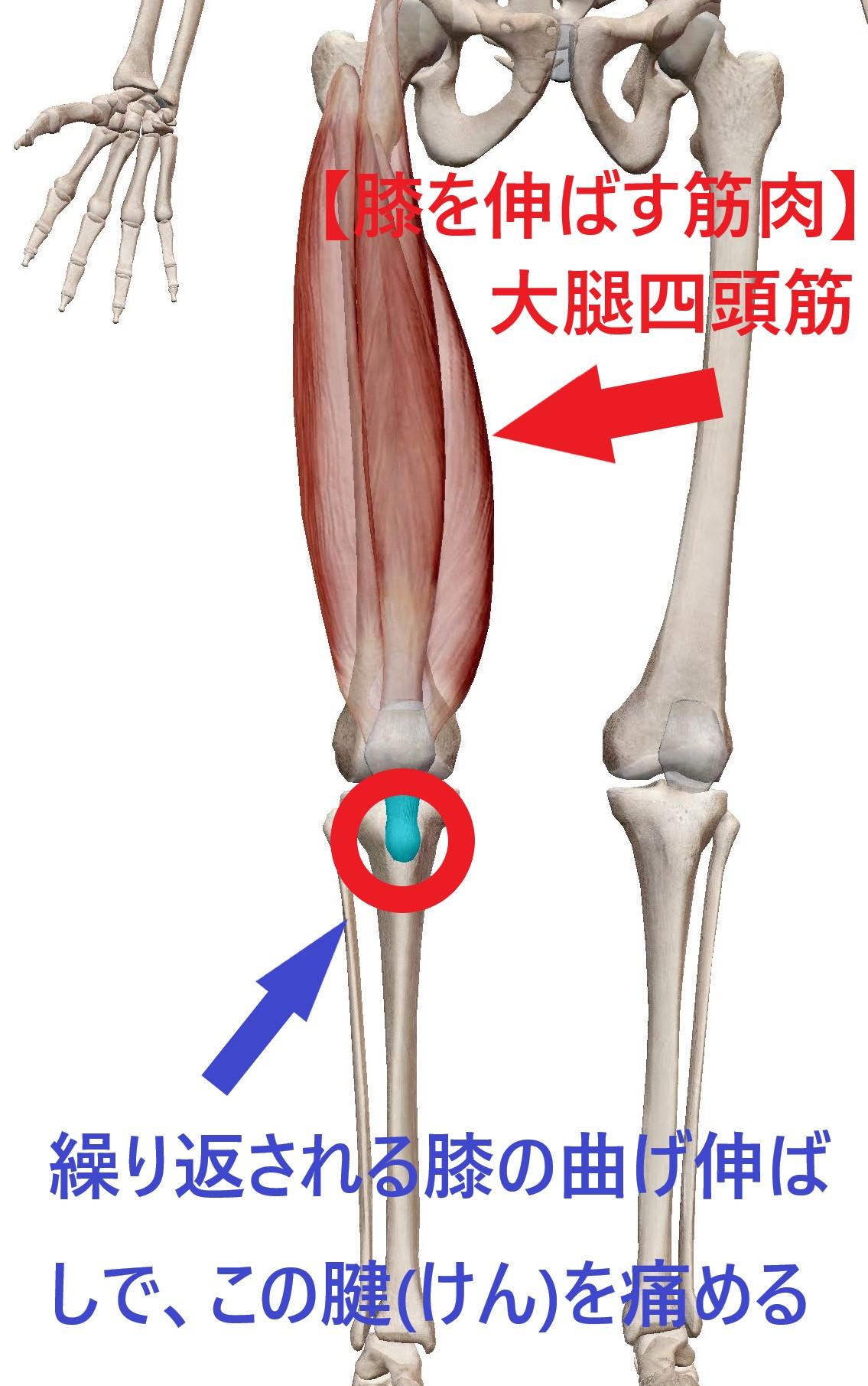 膝蓋腱の場所