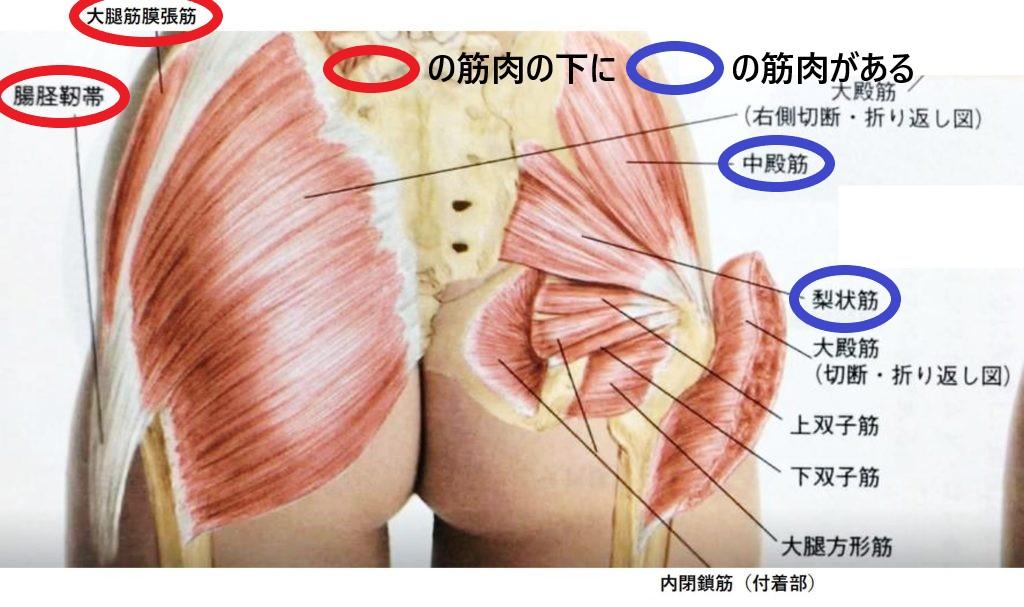 右腸脛靭帯、右大腿筋膜張筋、右中殿筋、右梨状筋の筋肉の図
