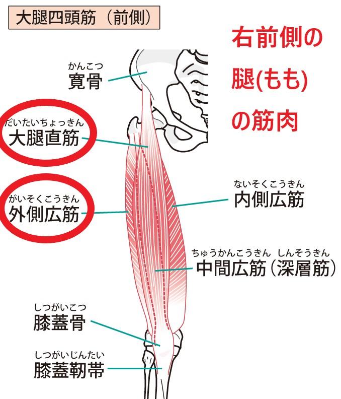 右大腿直筋と右外側広筋の筋肉の図
